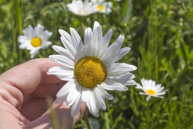 Flor da camomila na mão de uma mulher em um prado no tempo ensolarado imagens de stock royalty free