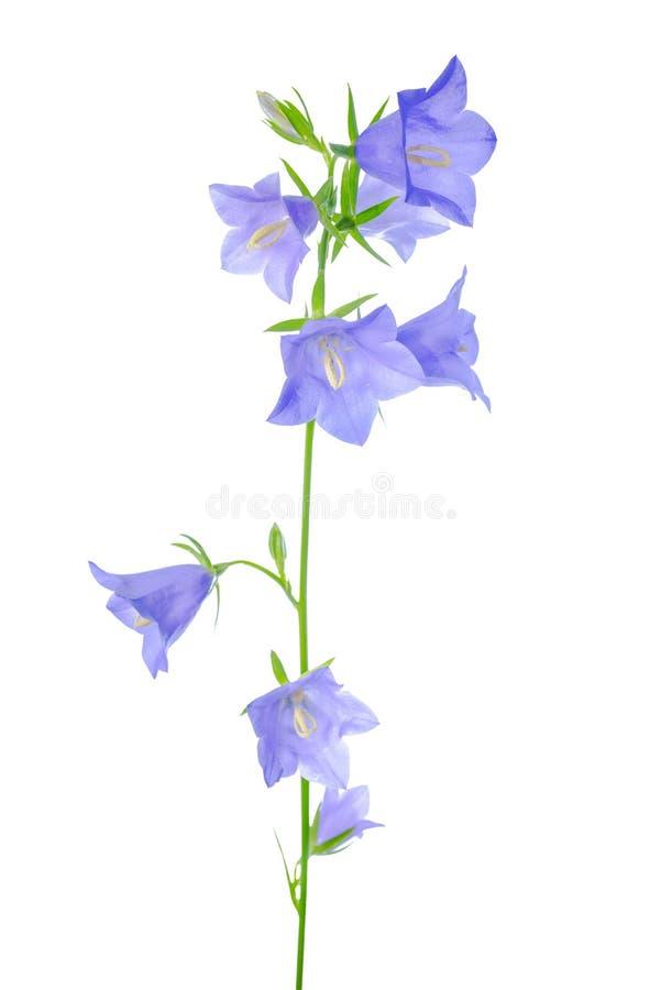 A flor da campainha é isolada em um branco ilustração do vetor