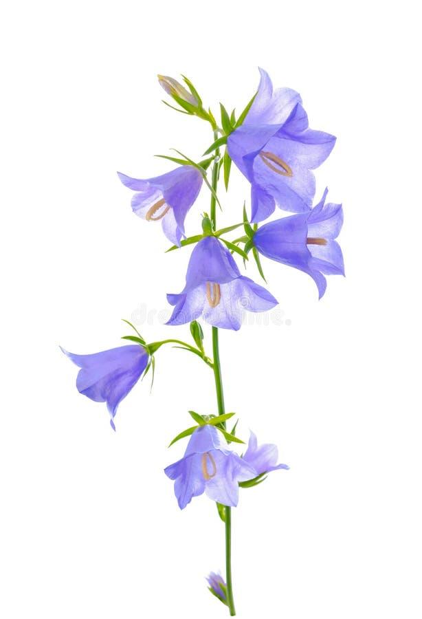 A flor da campainha é isolada em um fundo branco fotografia de stock
