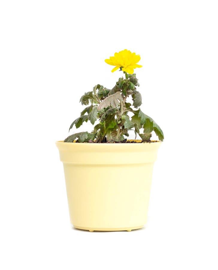Flor da casa no crisântemo amarelo de florescência novo em um fundo branco, isolado do potenciômetro imagem de stock royalty free