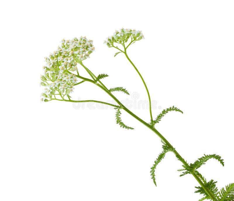 Flor da cenoura selvagem imagens de stock