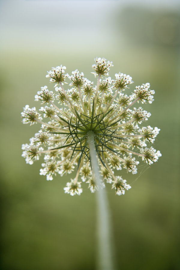 Flor da cenoura selvagem. imagem de stock royalty free
