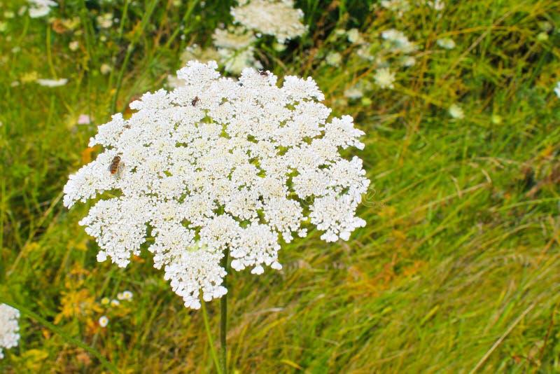 Flor da cenoura selvagem imagem de stock royalty free