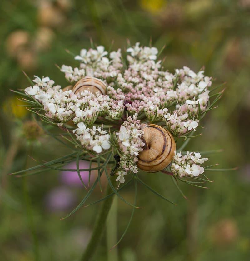 Flor da cenoura selvagem com caracóis mediterrâneos imagens de stock royalty free