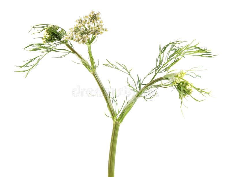 Flor da cenoura selvagem isolada no fundo branco Planta medicinal imagem de stock