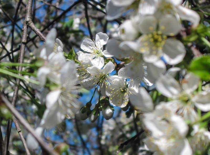Flor da flor da cereja na mola Flores brancas de sakura no fundo do céu Papel de parede móvel vertical fotos de stock royalty free