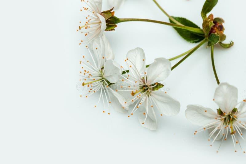 Flor da cereja no branco imagem de stock royalty free