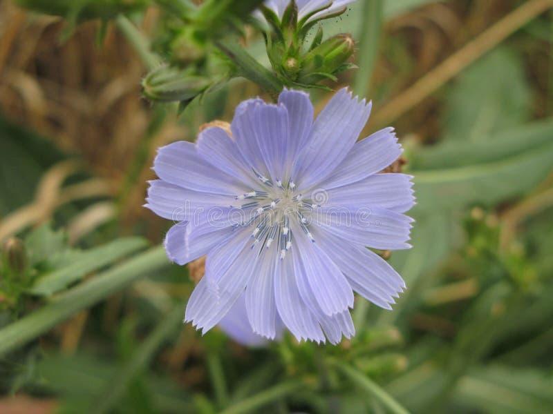 Flor da chicória fotos de stock