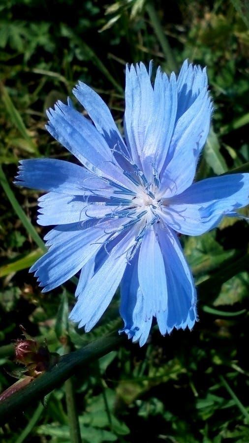 Flor 7 da chicória foto de stock