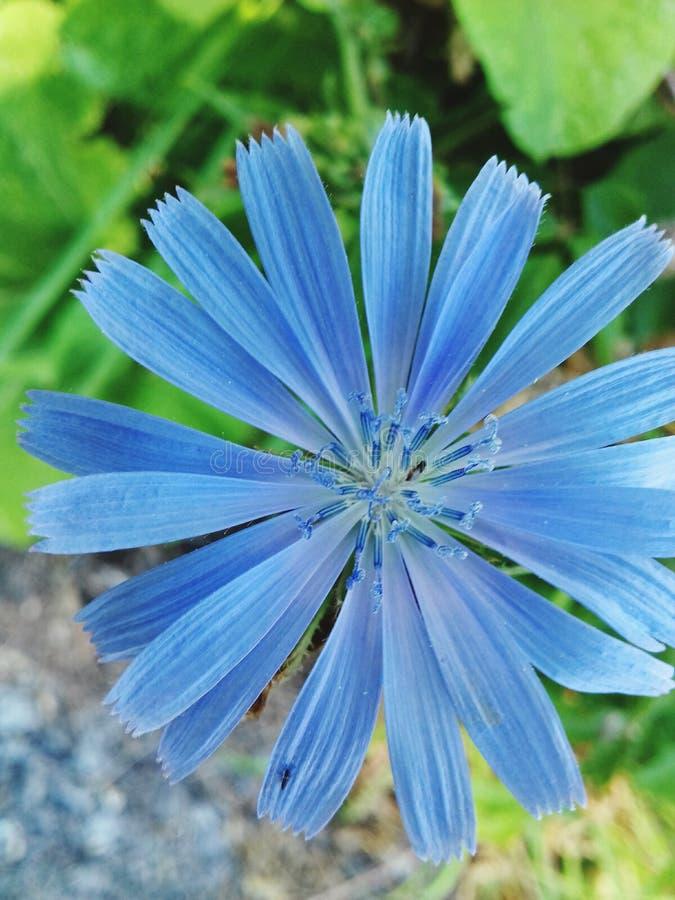 Flor da chicória foto de stock