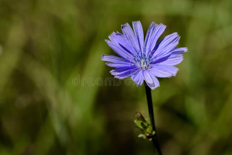 Flor da chicória imagens de stock