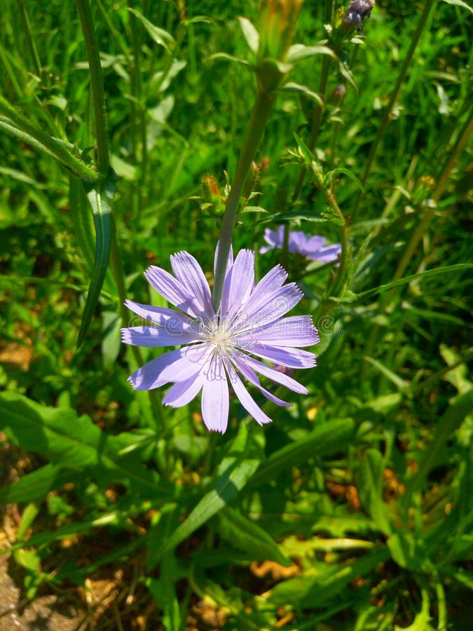 A flor da chicória foto de stock