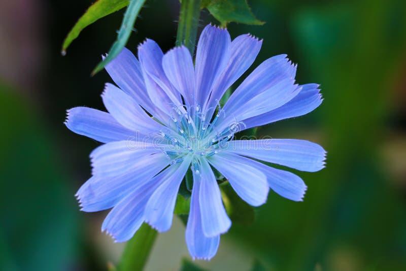 Flor da chicória comum, intybus do Cichorium, chicória selvagem fotografia de stock