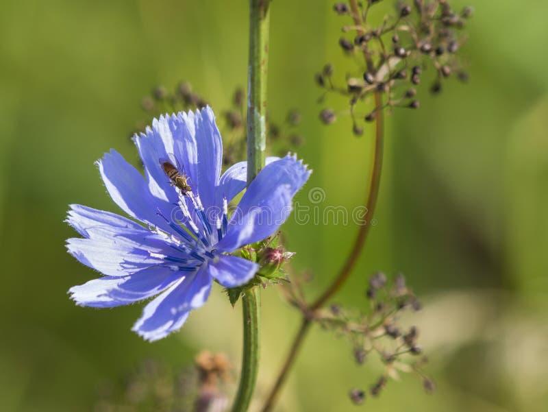 Flor da chicória e abelha minúscula foto de stock royalty free
