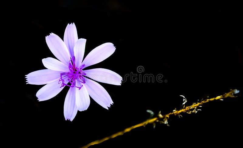 Flor da chicória na obscuridade fotografia de stock