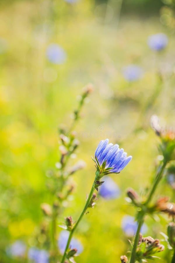 Flor da chicória no campo foto de stock