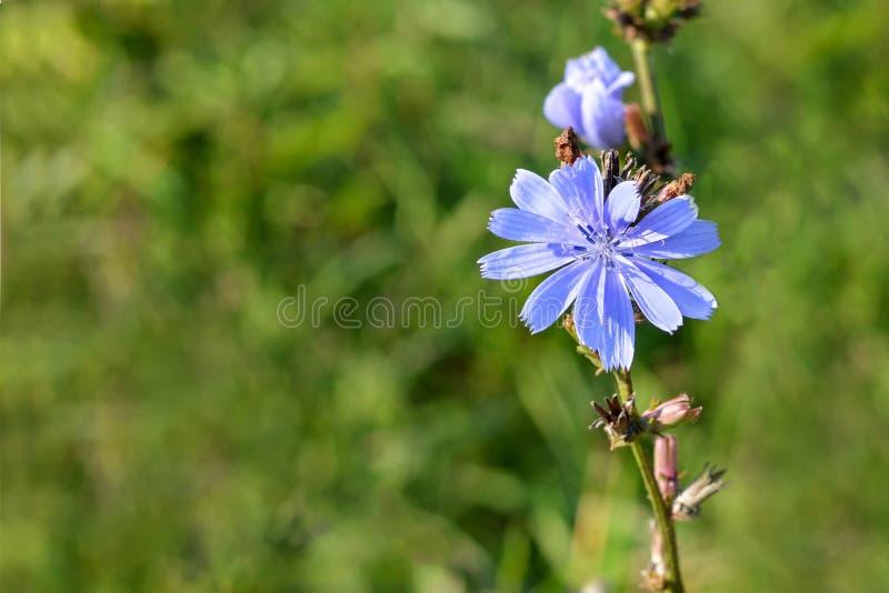Flor da chicória no campo fotografia de stock royalty free