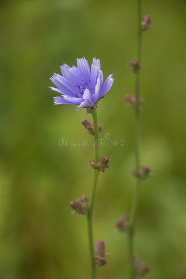 Flor da chicória no campo verde foto de stock royalty free