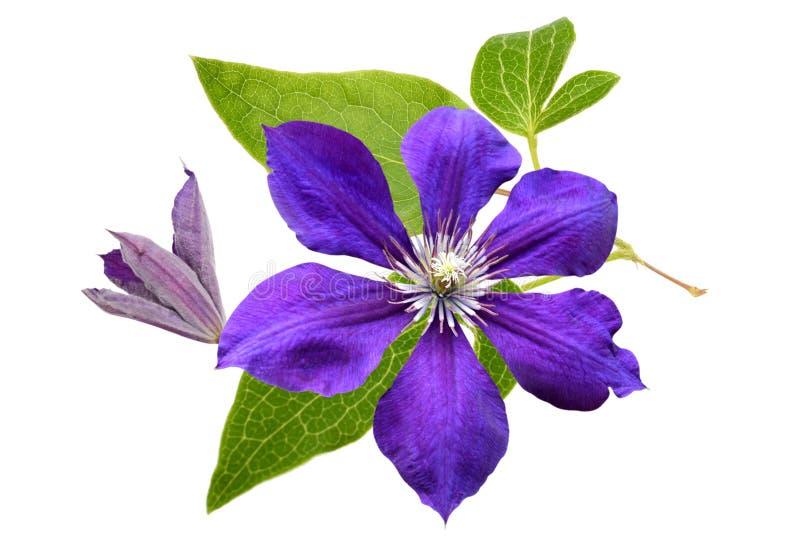 Flor da clematite foto de stock royalty free