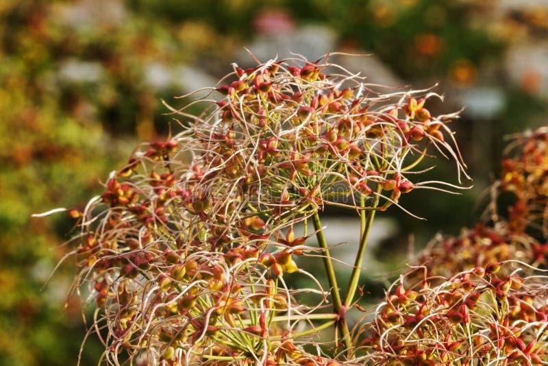 Flor da clematite ereta fotografia de stock royalty free