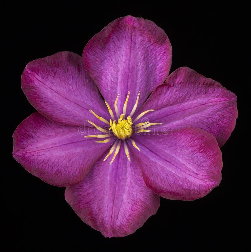 Flor da clematite no preto fotos de stock