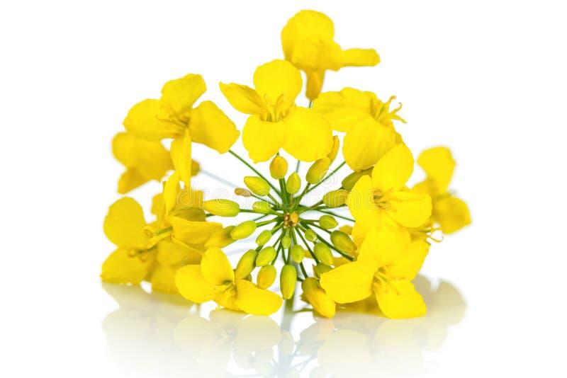 Flor da colza imagens de stock