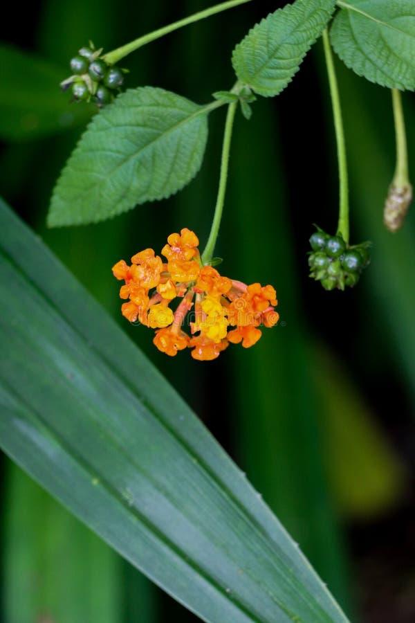 Flor da conversão no jardim fotos de stock