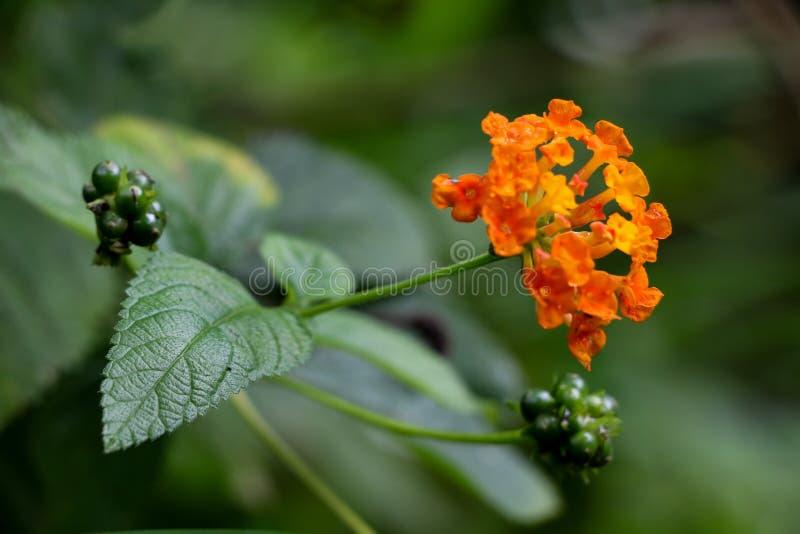 Flor da conversão no jardim imagem de stock
