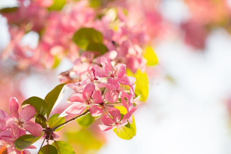 Flor da flor cor-de-rosa bonita da cereja foto de stock royalty free