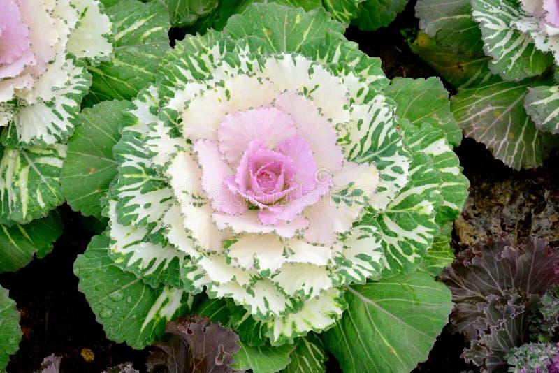 Flor da couve foto de stock royalty free