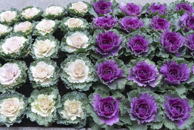 Flor da couve branca e vermelha de Beautifu usada para o jardim da decoração imagens de stock royalty free