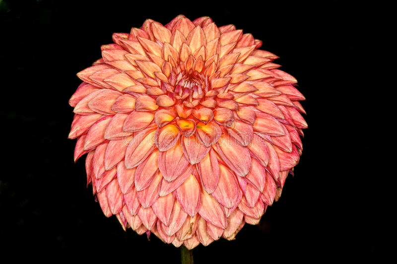 Flor da dália imagens de stock royalty free