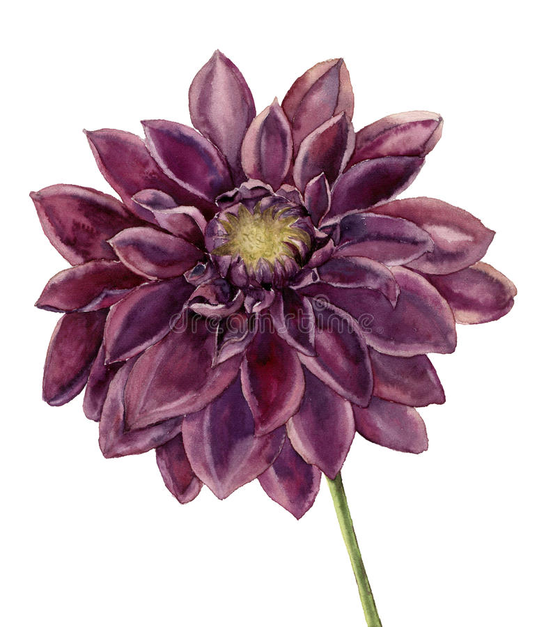 Flor da dália da aquarela Ilustração floral do outono pintado à mão isolada no fundo branco Ilustração botânica ilustração royalty free