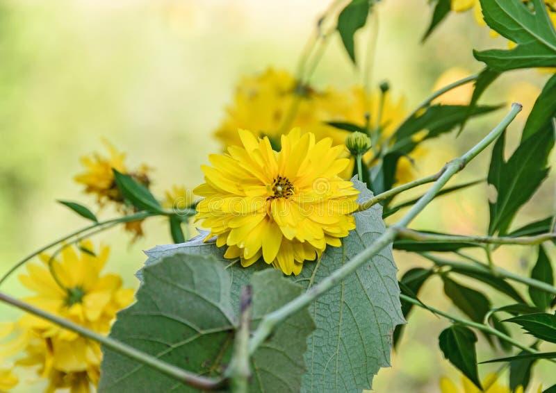 Flor da dália, margarida ou crisântemo amarelo, BO colorida natural foto de stock royalty free