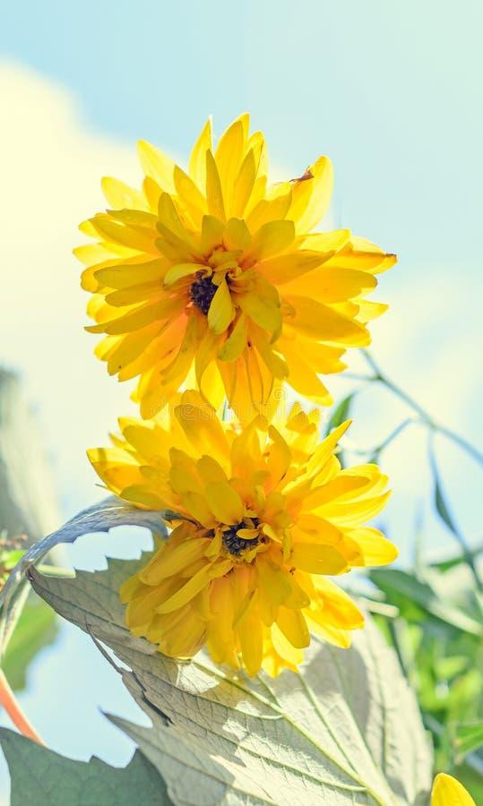 Flor da dália, margarida ou crisântemo amarelo, natural colorida imagem de stock