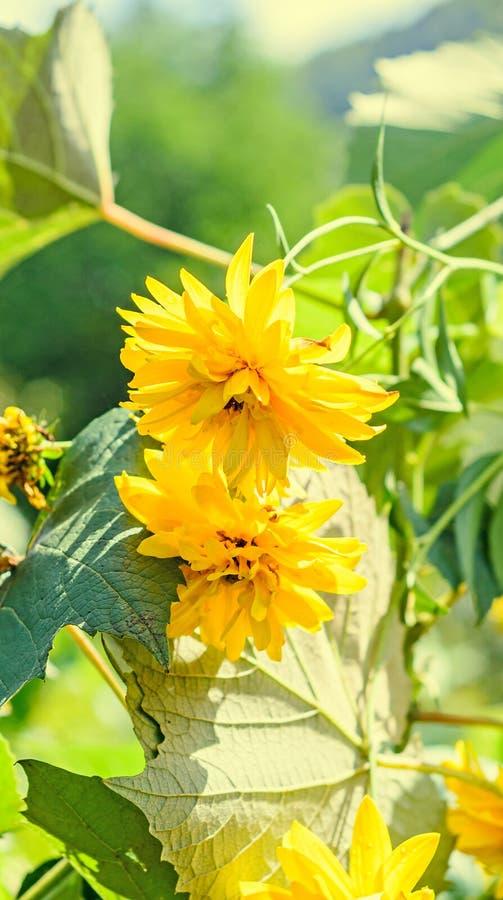 Flor da dália, margarida ou crisântemo amarelo, natural colorida foto de stock royalty free