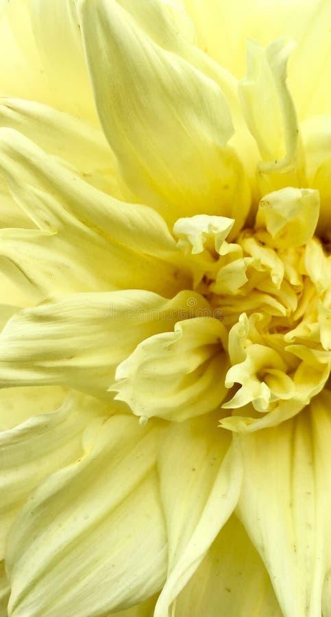 Flor da dália na cor amarela foto de stock royalty free