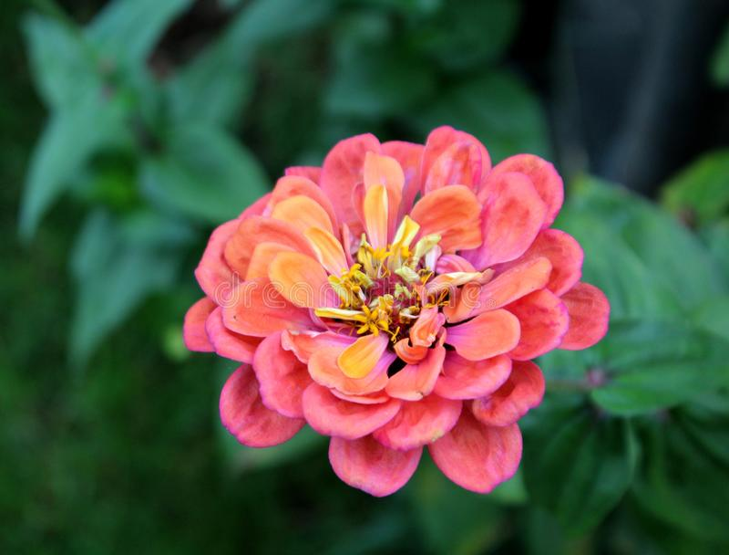 Flor da dália - outono no jardim foto de stock royalty free