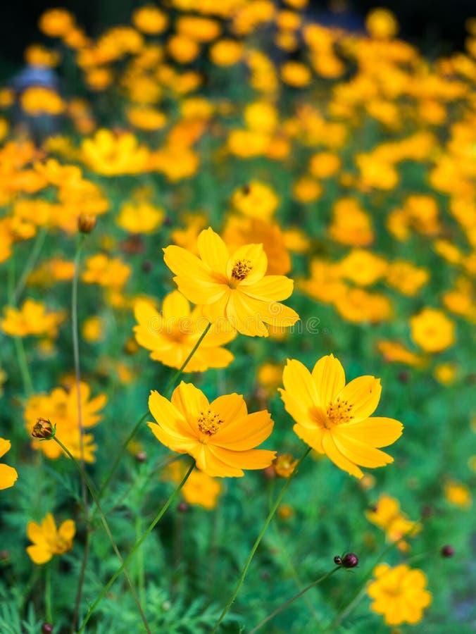 Flor da flor do cosmos do amarelo alaranjado no jardim imagens de stock