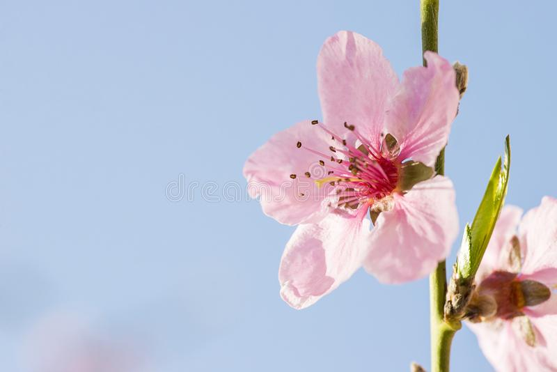 Flor da flor do pêssego no jardim Flores cor-de-rosa na árvore imagem de stock royalty free