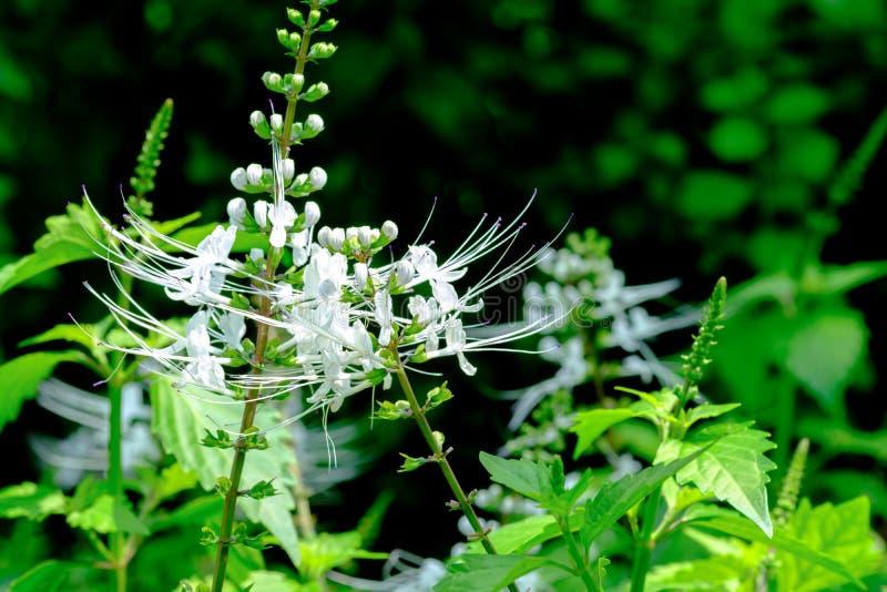 Flor da erva, chá de Java, planta de chá do rim imagens de stock royalty free