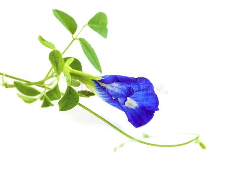 Flor da ervilha de borboleta isolada no fundo branco fotos de stock royalty free