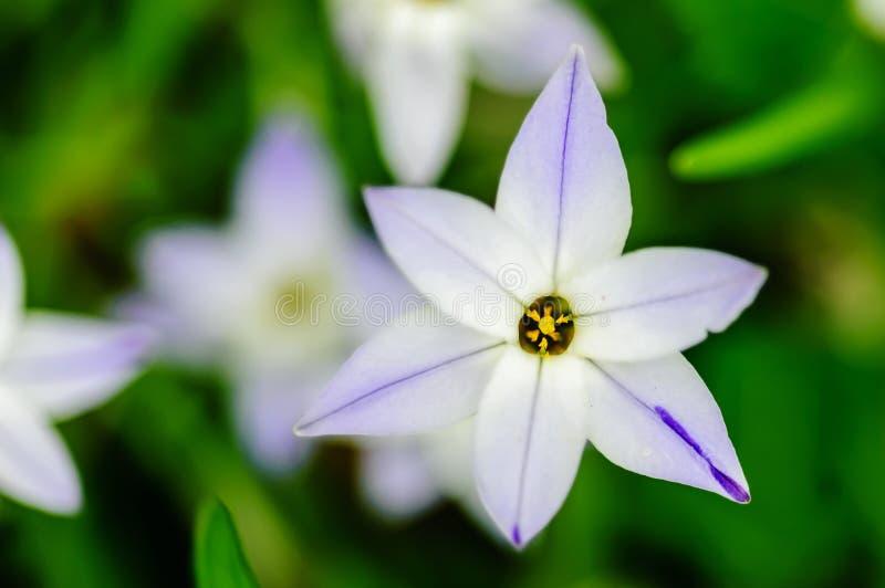 Flor da estrela fotografia de stock royalty free