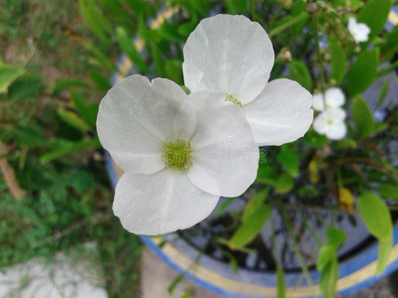 Flor da flor branca tão bonita imagens de stock royalty free