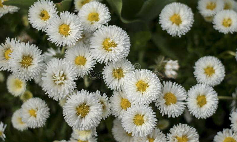 Flor da flor da margarida branca fotos de stock