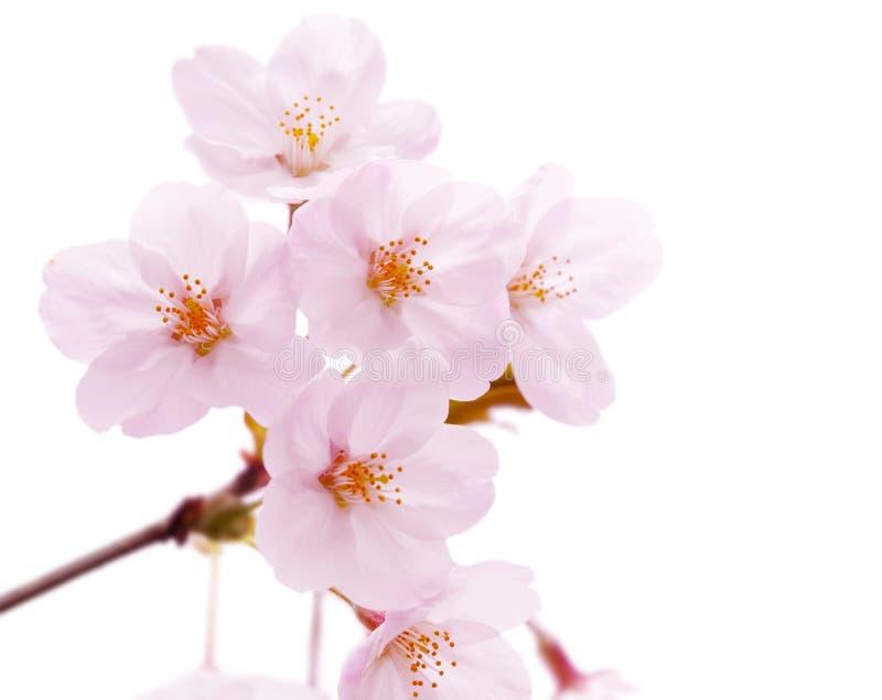 Flor da flor de cereja isolada foto de stock