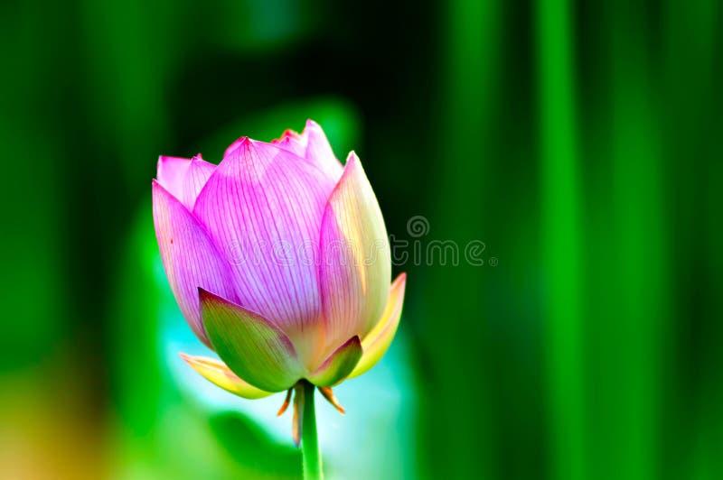 Flor da flor de Lotus no verão imagem de stock royalty free