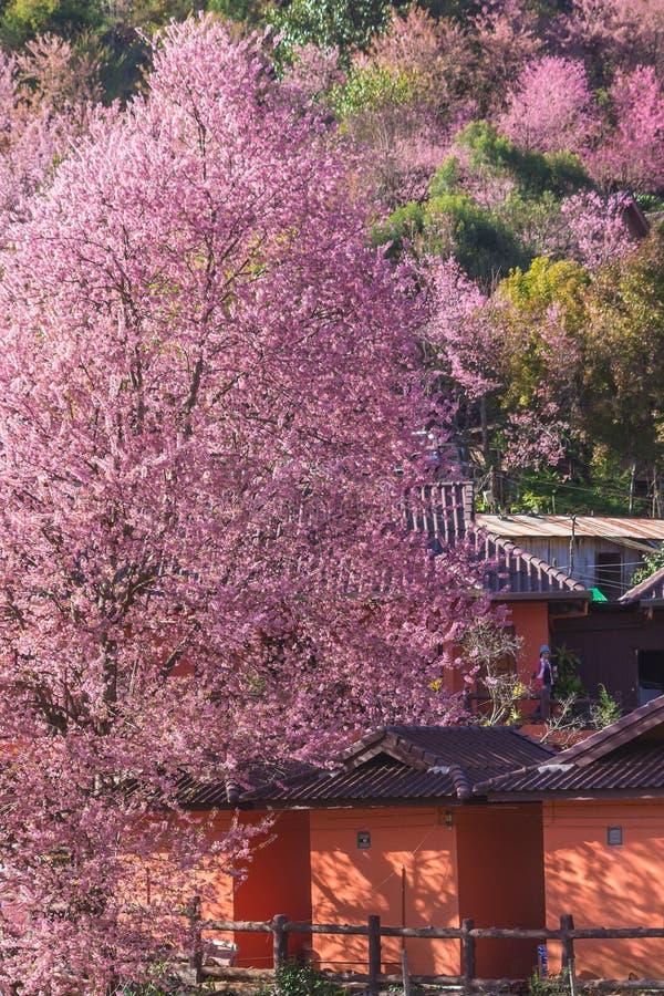 Flor da flor de Sakura Thailand ou da flor de cerejeira na montanha pequena da vila Na frente da casa de madeira no norte de Tail fotos de stock