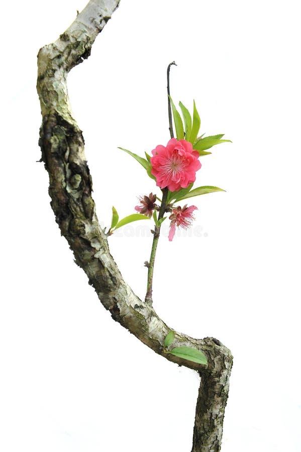 Flor da flor do pêssego foto de stock royalty free