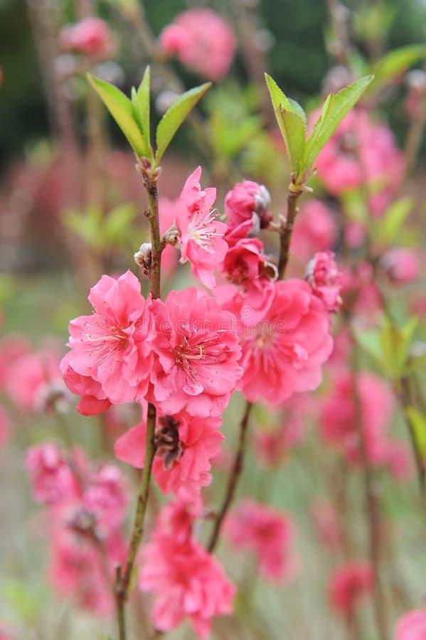 Flor da flor do pêssego fotografia de stock